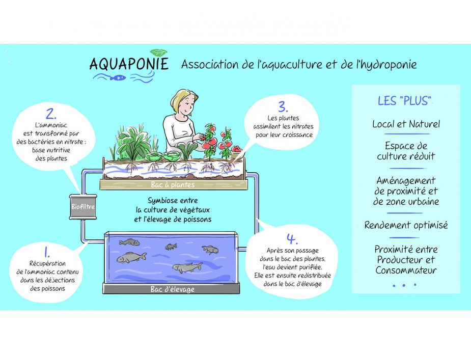 illustration-explicative_2_aquaponie_cadrage-site